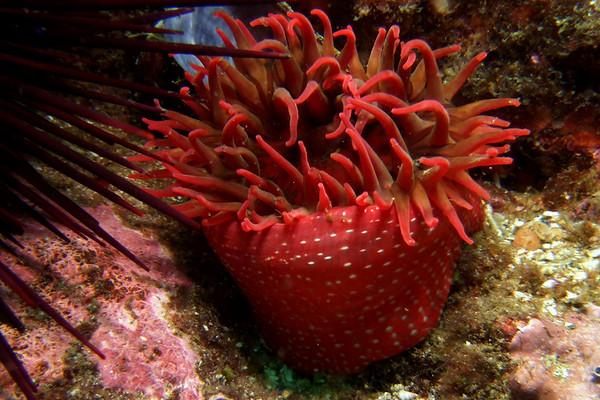 Strawberry anemone