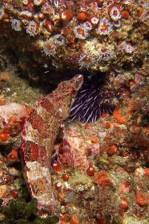 Island kelpfish, well camouflaged