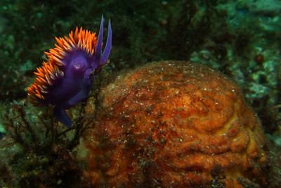 Spanish shawl nudibranch, with mating appendage visible (nudibranchs are hermaphrodites)