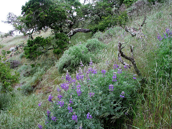 Hillside lupine