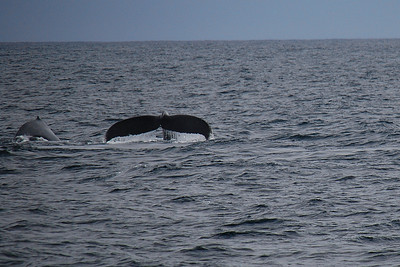 First humpback whales of the day