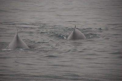 Two humpbacks emerge out of the fog