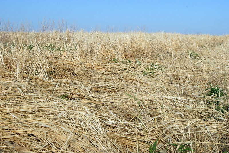 Volunteer wheat laid flat by the storm