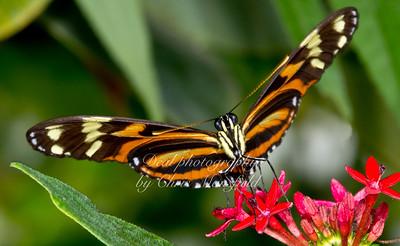 Ismenius Butterfly
