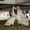 June 24th 2017 armed forces day geese hiding