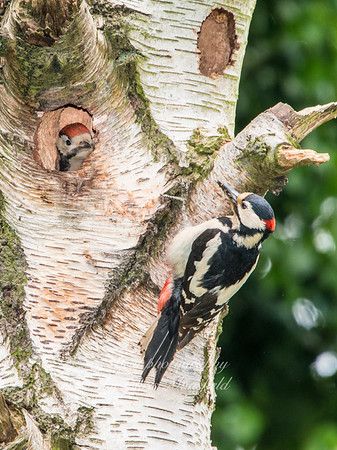 Male Great spotted Woodpecker with chick