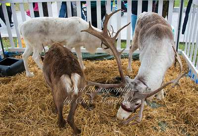 Reindeer... possibly for the evenings spit roast ??