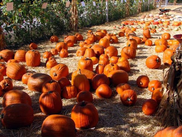 Pumpkin patch in Mountain View California.