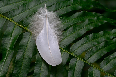 White Feather on a Fern