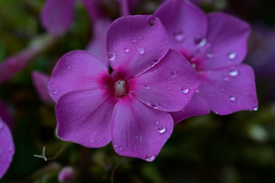 Impatiens After the Rain