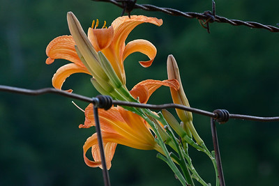Tiger Lilies on a Fence Row