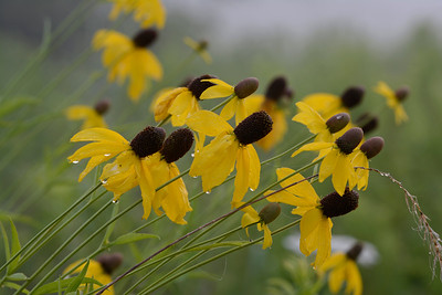 Prarie Coneflowers in the Mist