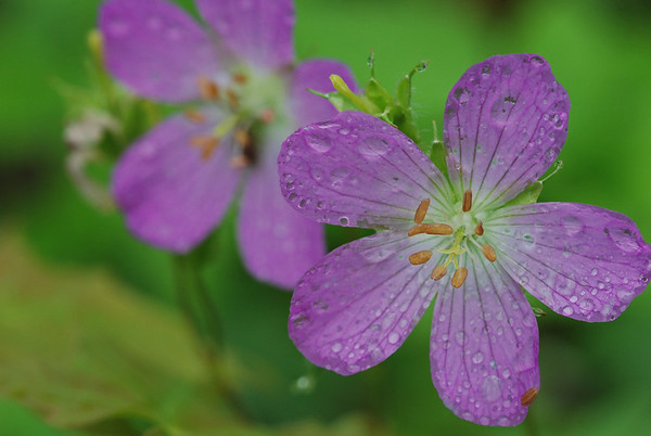 Wild Geranium After a Rainshower