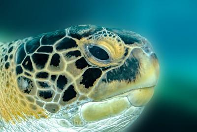 Mote Marine Sea Turtle