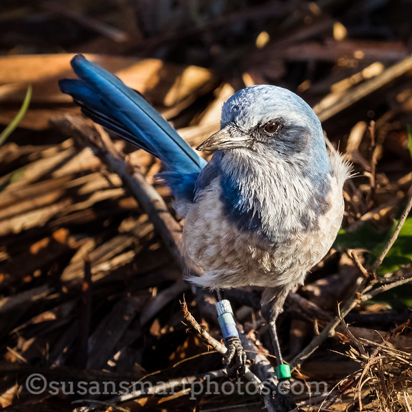 Friendly Scrub Jay