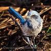 Friendly Scrub Jay