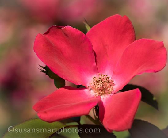 Ancient Rose