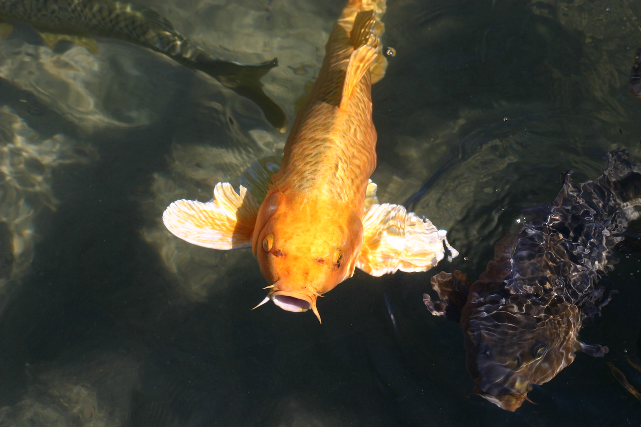 Koi are basically fancy carp. evry once in awhile you see a Gold or white carp. probably someone along the line didn't want his koi anymore and dumped them in the lake. Most Carp aren't this pretty.