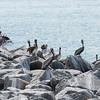 A pod of pelicans...