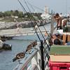 Ruddy turnstones overseeing the fishing pier activities.