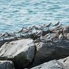A bunch of cute little sanderlings.