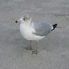 Ring-billed Gull enjoying the beach.