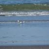 Sanderlings.