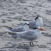 Royal Terns and Sandwich Tern.
