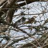 Palm Warbler.