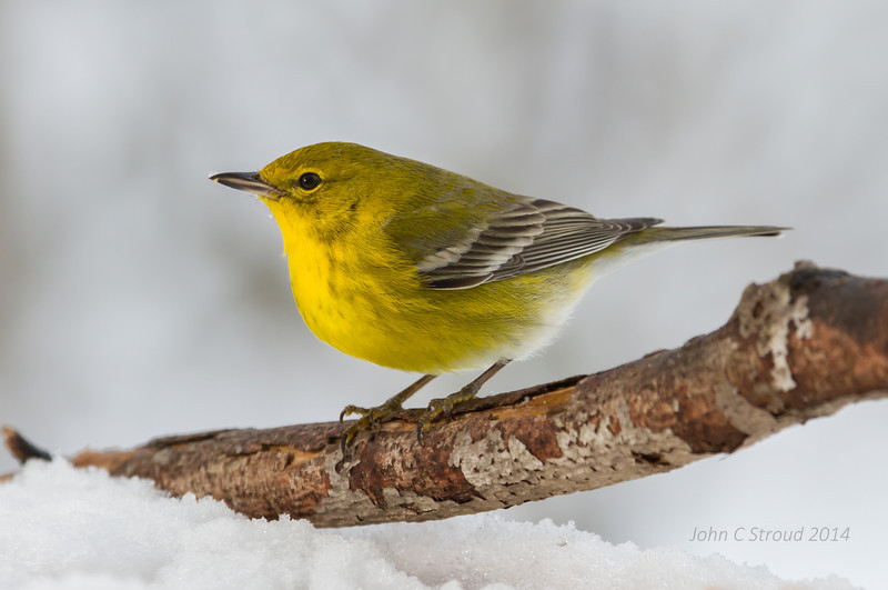 Pine Warbler showing off
