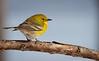Pine Warbler profile