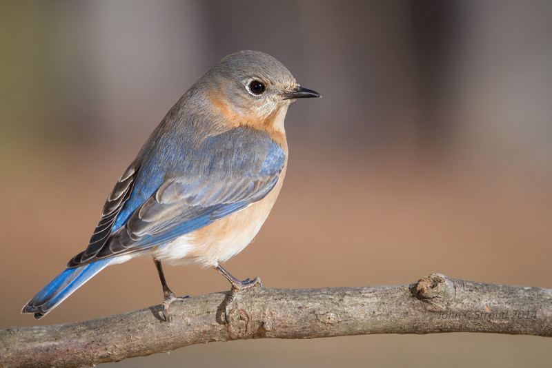 Bluebird pose