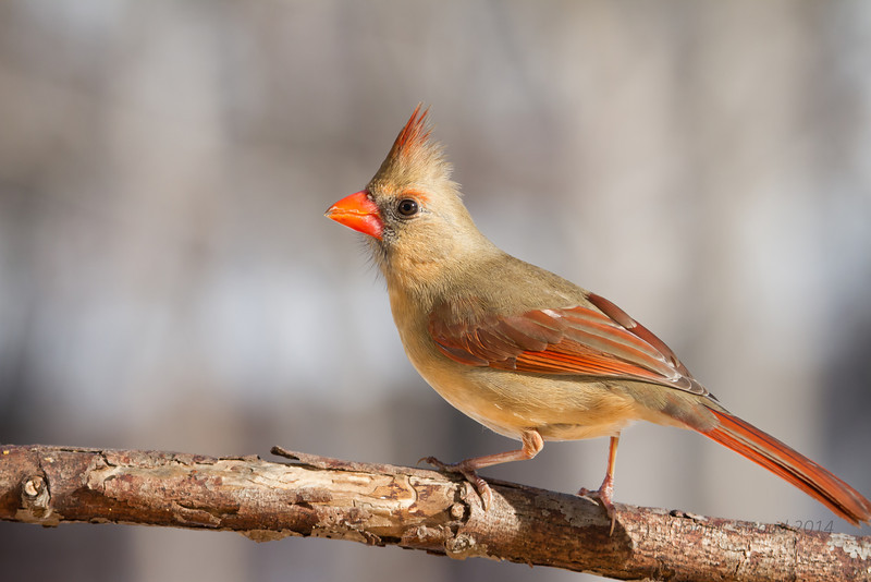 Female Cardinal pose