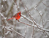 Vulnerable Cardinal