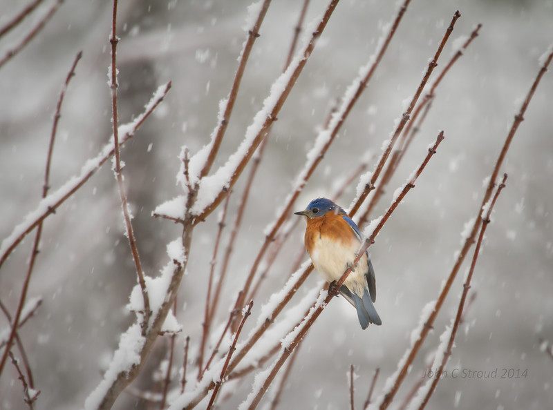 Lonely Bluebird