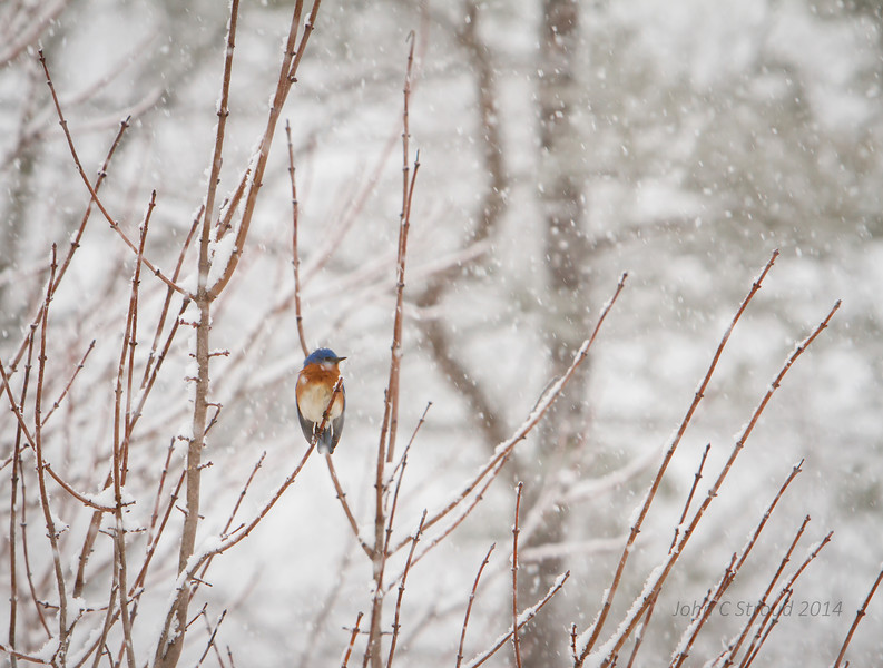 Bluebird battling the blizzard