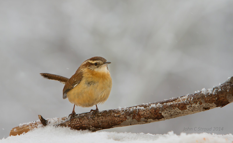 Carolina Wren on ice