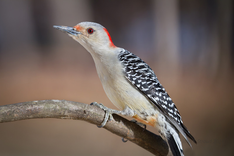 Female Red-bellied Woodpecker stretching it out..................