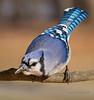 Blue Jay curiosity