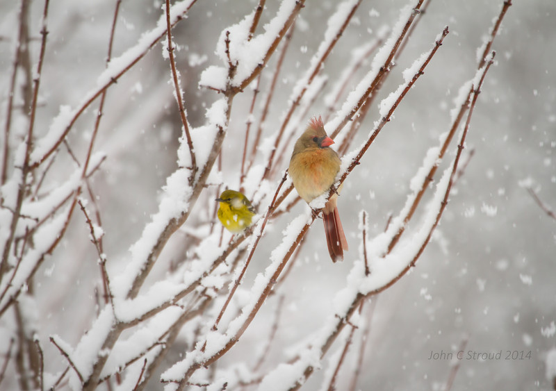 Pine Warbler and Cardinal - Searching for better weather