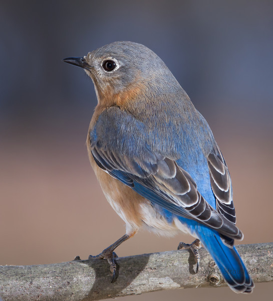 Bluebird in blue
