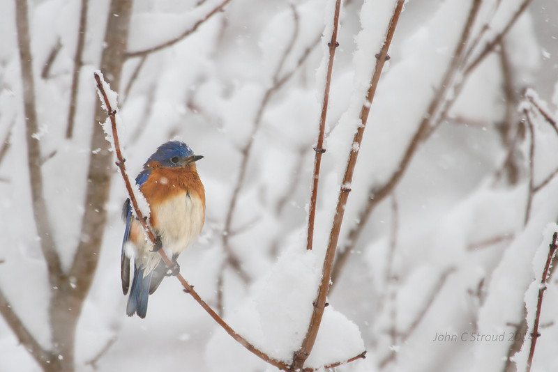 Stoic Bluebird