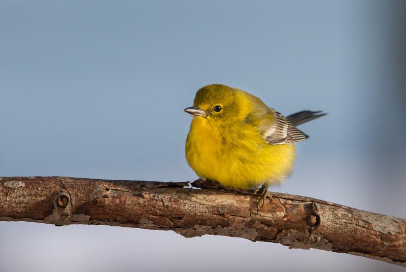 Cute Pine Warbler