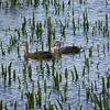 Pair of Mottled Ducks.