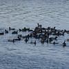 Whole bunch of Coots.