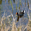 Moorhen (now officially known as the Common Gallinule)