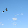 Two Geese in Blue Sky