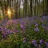 Bluebell Sunstar