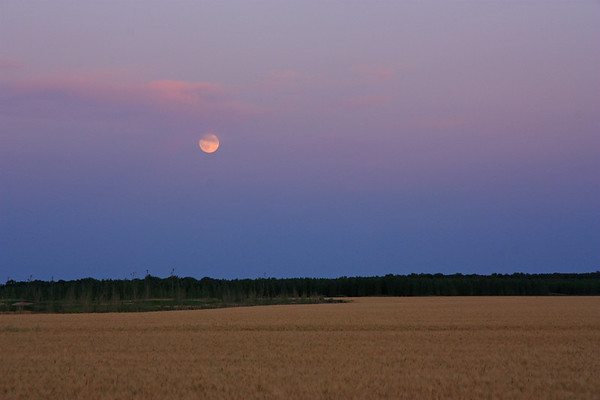 Barley in Moonlight