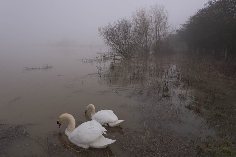 Flooded Swans